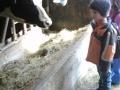 Nasier beobachtet was die Kühe fressen