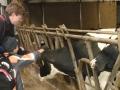 Der Praktikant Dominik und Nasir streicheln Kühe